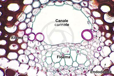 Equisetum sylvaticum. Equiseto selvatico. Rizoma. Fascio conduttore. Sezione trasversale. 500X