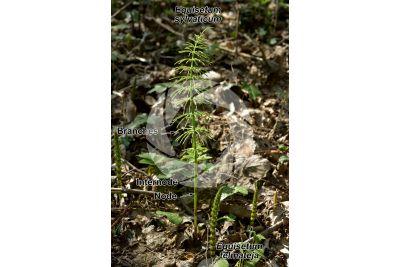 Equisetum sylvaticum. Wood horsetail. Sterile stem