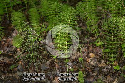 Equisetum sylvaticum. Equiseto selvatico. Fusto sterile