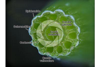 Equisetum sylvaticum. Equiseto selvatico. Fusto sterile. Sezione trasversale. 15X
