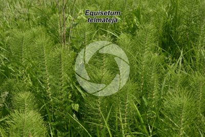 Equisetum telmateja. Equiseto massimo. Fusto sterile