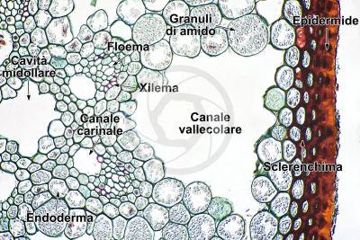 Equisetum variegatum. Equiseto variegato. Rizoma. Fascio conduttore. Sezione trasversale. 250X