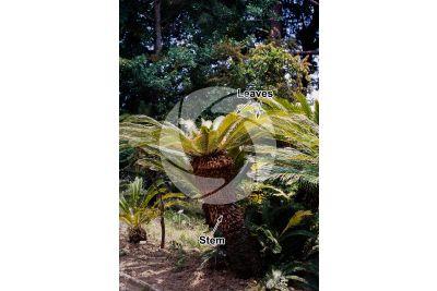 Cycas revoluta. Sago palm