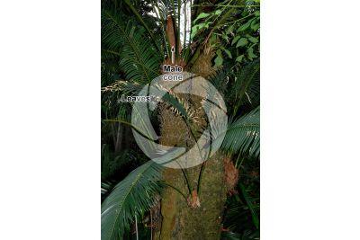 Cycas revoluta. Sago palm. Male plant