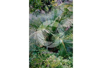 Encephalartos laurentianus. Malele. Male plant