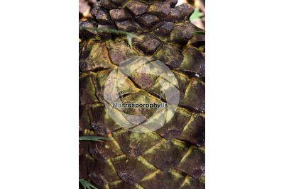Encephalartos laurentianus. Malele. Female plant. Female cone
