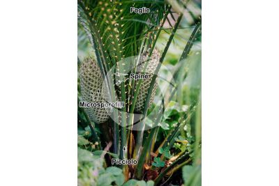 Encephalartos laurentianus. Pianta maschile. Cono maschile