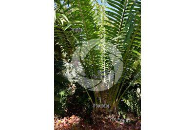 Encephalartos laurentianus. Pianta femminile