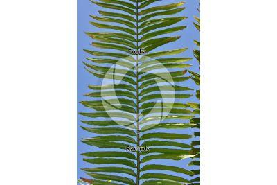 Encephalartos laurentianus. Foglia