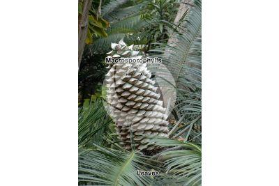 Lepidozamia peroffskyana. Female plant. Female cone