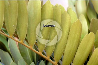 Zamia sp. Leaf