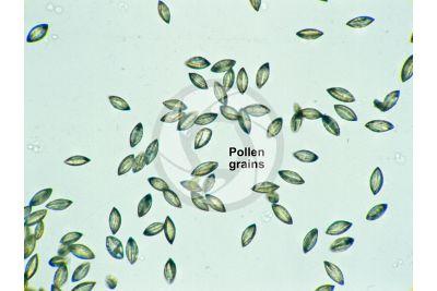 Ginkgo biloba. Pollen. 250X