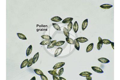 Ginkgo biloba. Pollen. 500X