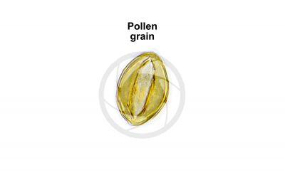 Ginkgo biloba. Pollen. 1000X