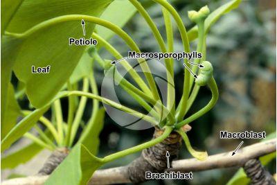 Ginkgo biloba. Female strobilus
