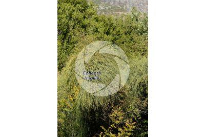 Ephedra fragilis. Joint pine