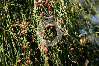 Ephedra fragilis