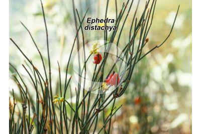 Ephedra distachya