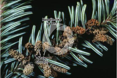 Abies alba. European silver fir. Male strobilus
