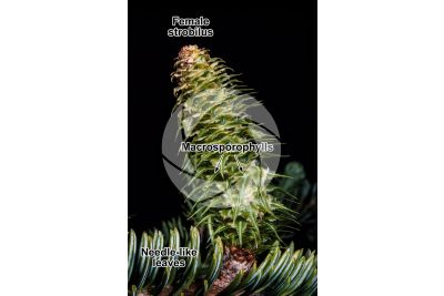 Abies alba. European silver fir. Female strobilus
