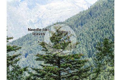 Abies alba. European silver fir. Strobilus