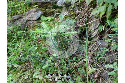Abies alba. European silver fir. Small plant
