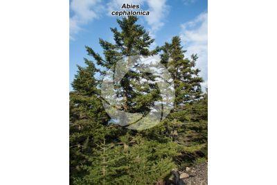 Abies cephalonica. Greek fir