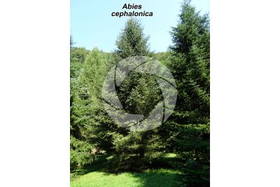 Abies cephalonica. Abete greco