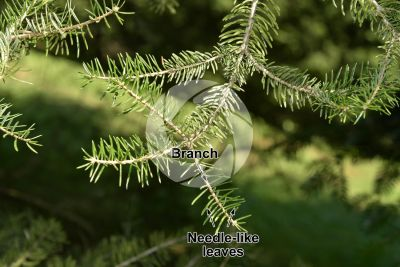 Abies cephalonica. Greek fir. Leaf. Upper surface