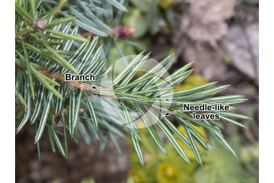 Abies cephalonica. Greek fir. Leaf. Lower surface