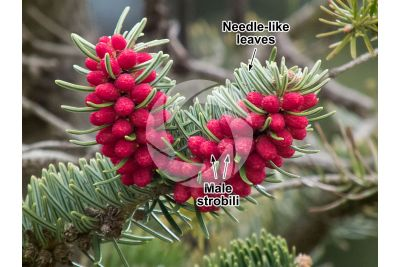 Abies cephalonica. Greek fir. Male strobilus