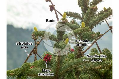 Abies cephalonica. Greek fir. Female strobilus