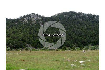 Abies cilicica. Cilician fir