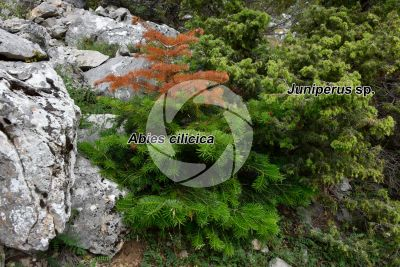 Abies cilicica. Cilician fir. Leaf