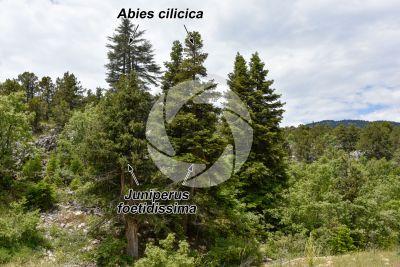 Abies cilicica. Abete della Cilicia