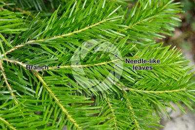 Abies cilicica. Cilician fir. Leaf. Upper surface