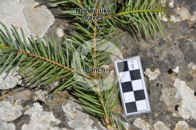 Abies cilicica. Cilician fir. Leaf. Lower surface