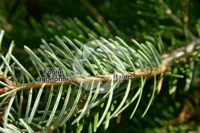 Abies cilicica. Abete della Cilicia. Foglia. Pagina inferiore