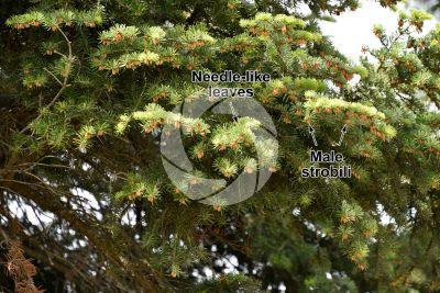 Abies cilicica. Cilician fir. Male strobilus