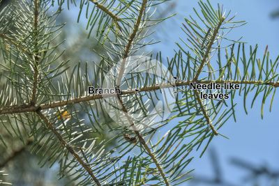 Abies concolor. White fir. Leaf. Lower surface