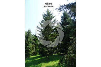 Abies koreana. Korean fir