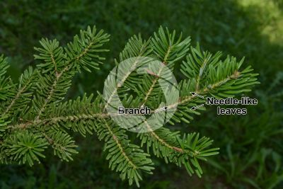 Abies koreana. Korean fir. Leaf. Upper surface