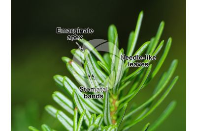 Abies koreana. Korean fir. Leaf. Lower surface