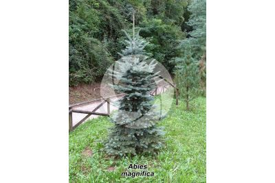 Abies magnifica. Red fir