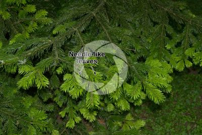 Abies nordmanniana. Caucasian fir. Leaf. Upper surface