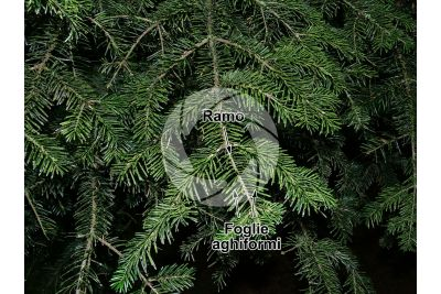 Abies nordmanniana. Abete del Caucaso. Foglia. Pagina superiore