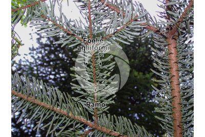 Abies nordmanniana. Abete del Caucaso. Foglia. Pagina inferiore