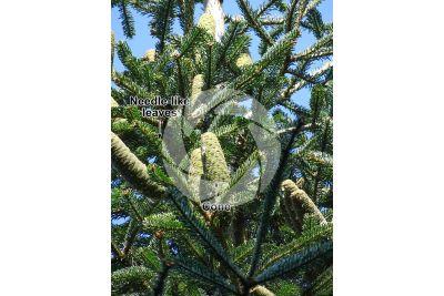 Abies nordmanniana. Caucasian fir. Strobilus