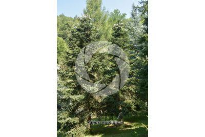 Abies numidica. Algerian fir