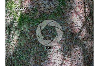 Abies numidica. Algerian fir. Stem